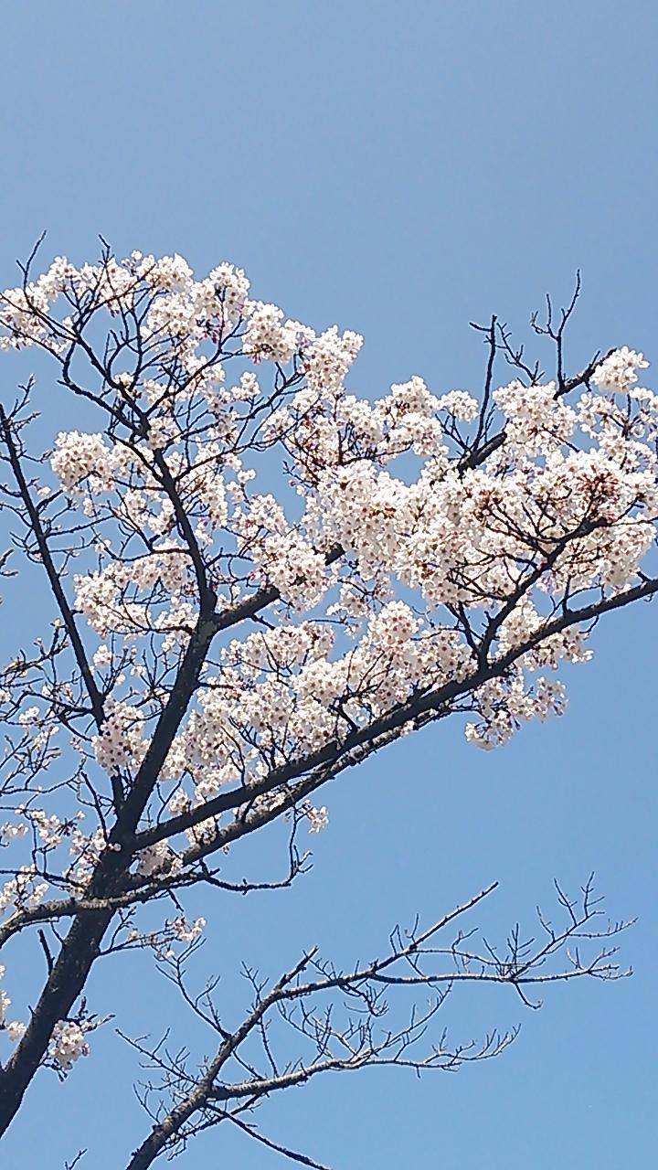 高いとこの桜
